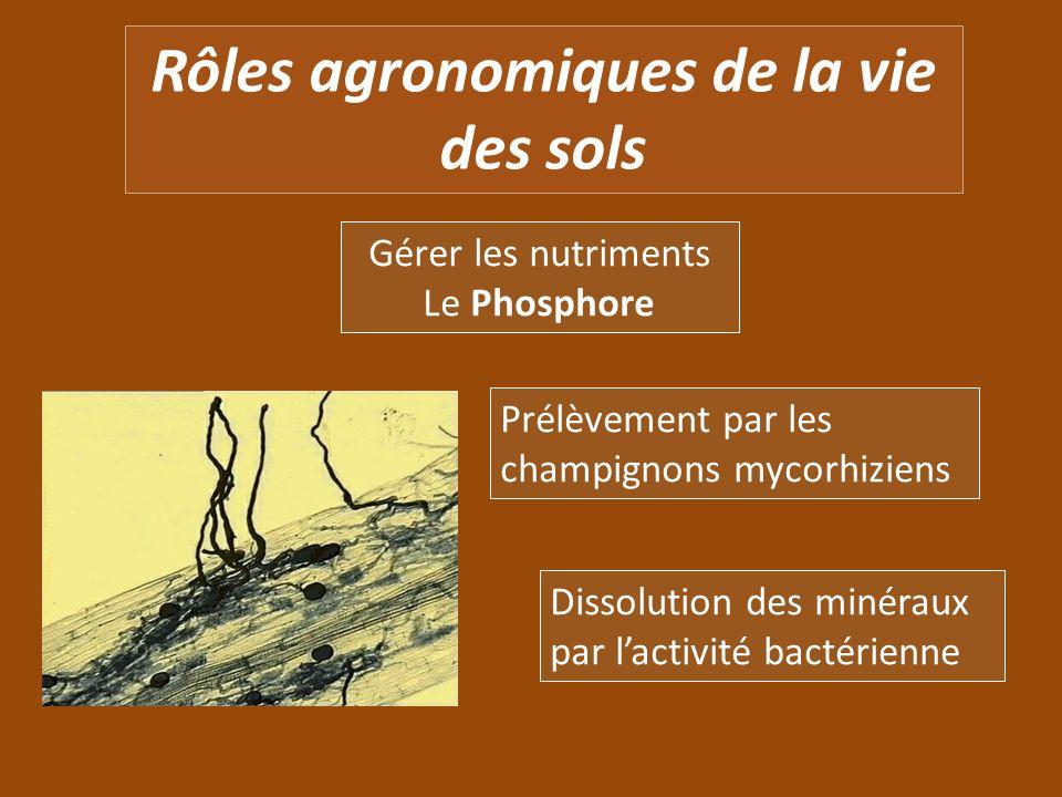 Rôles agronomiques de la vie des sols Gérer les nutriments Le Phosphore Prélèvement par les champignons mycorhiziens Dissolution des minéraux par lact