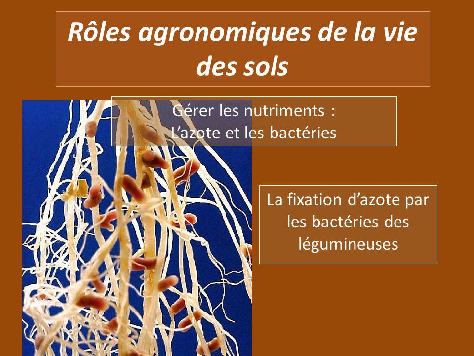 Rôles agronomiques de la vie des sols Gérer les nutriments : Lazote et les bactéries La fixation dazote par les bactéries des légumineuses