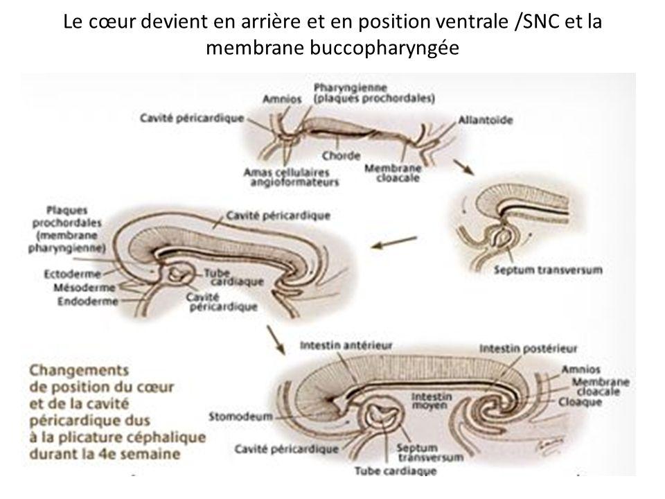 Le cœur devient en arrière et en position ventrale /SNC et la membrane buccopharyngée