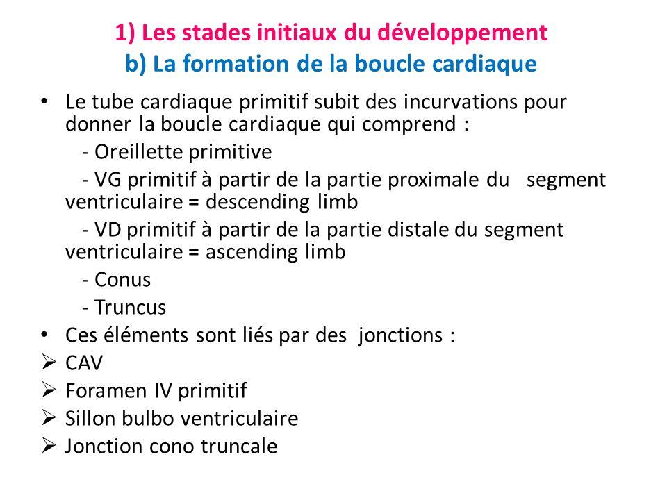 1) Les stades initiaux du développement b) La formation de la boucle cardiaque Le tube cardiaque primitif subit des incurvations pour donner la boucle cardiaque qui comprend : - Oreillette primitive - VG primitif à partir de la partie proximale du segment ventriculaire = descending limb - VD primitif à partir de la partie distale du segment ventriculaire = ascending limb - Conus - Truncus Ces éléments sont liés par des jonctions : CAV Foramen IV primitif Sillon bulbo ventriculaire Jonction cono truncale
