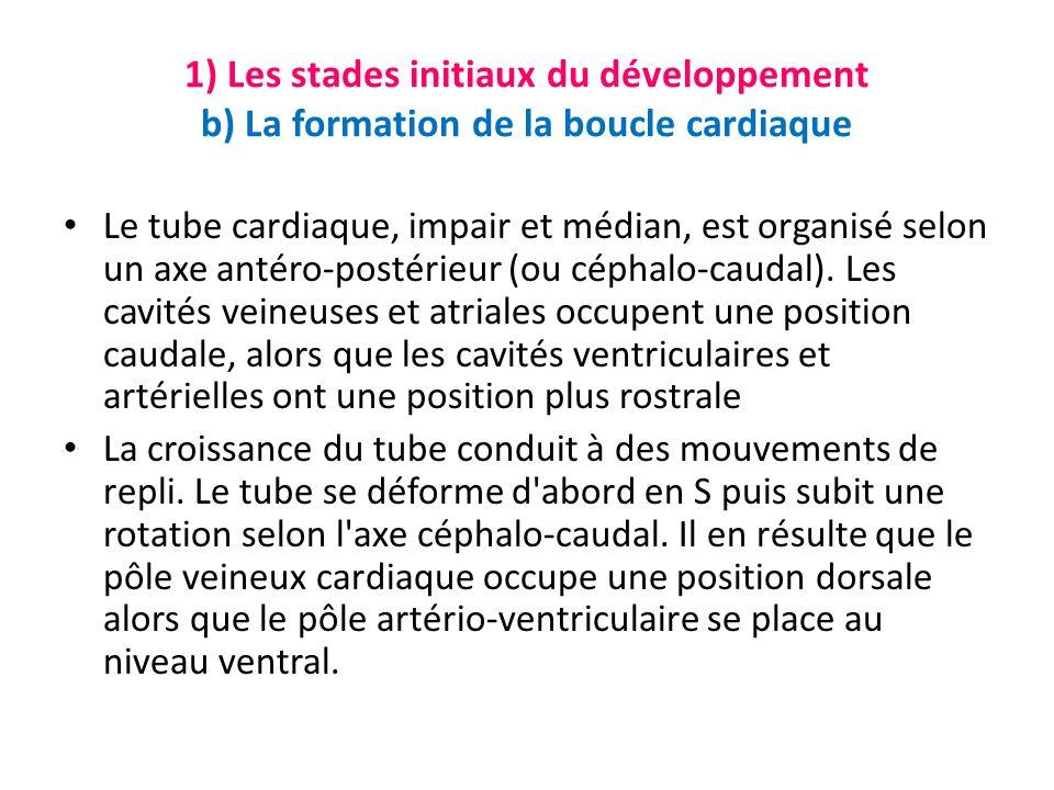 1) Les stades initiaux du développement b) La formation de la boucle cardiaque Le tube cardiaque, impair et médian, est organisé selon un axe antéro-postérieur (ou céphalo-caudal).