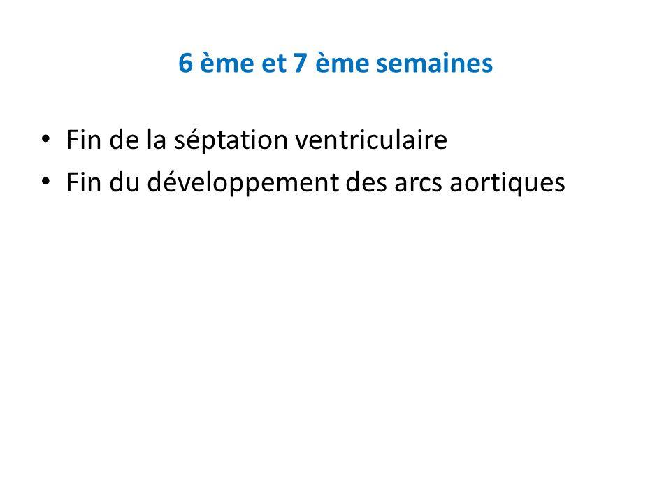 6 ème et 7 ème semaines Fin de la séptation ventriculaire Fin du développement des arcs aortiques