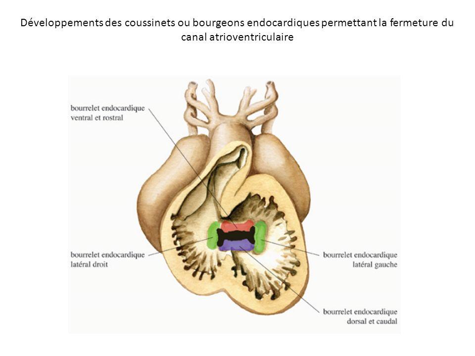 Développements des coussinets ou bourgeons endocardiques permettant la fermeture du canal atrioventriculaire