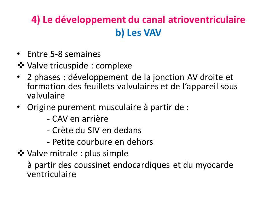 4) Le développement du canal atrioventriculaire b) Les VAV Entre 5-8 semaines Valve tricuspide : complexe 2 phases : développement de la jonction AV droite et formation des feuillets valvulaires et de lappareil sous valvulaire Origine purement musculaire à partir de : - CAV en arrière - Crète du SIV en dedans - Petite courbure en dehors Valve mitrale : plus simple à partir des coussinet endocardiques et du myocarde ventriculaire