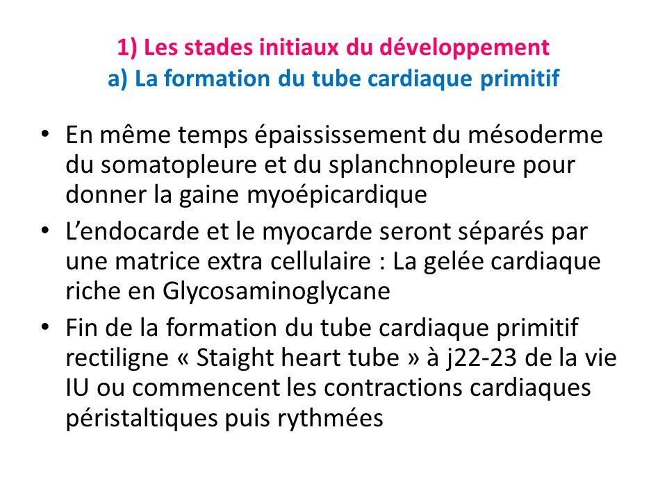 1) Les stades initiaux du développement a) La formation du tube cardiaque primitif En même temps épaississement du mésoderme du somatopleure et du splanchnopleure pour donner la gaine myoépicardique Lendocarde et le myocarde seront séparés par une matrice extra cellulaire : La gelée cardiaque riche en Glycosaminoglycane Fin de la formation du tube cardiaque primitif rectiligne « Staight heart tube » à j22-23 de la vie IU ou commencent les contractions cardiaques péristaltiques puis rythmées