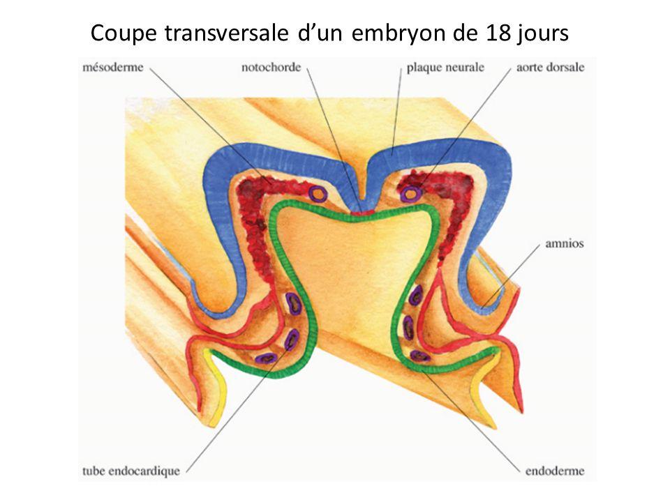 Coupe transversale dun embryon de 18 jours