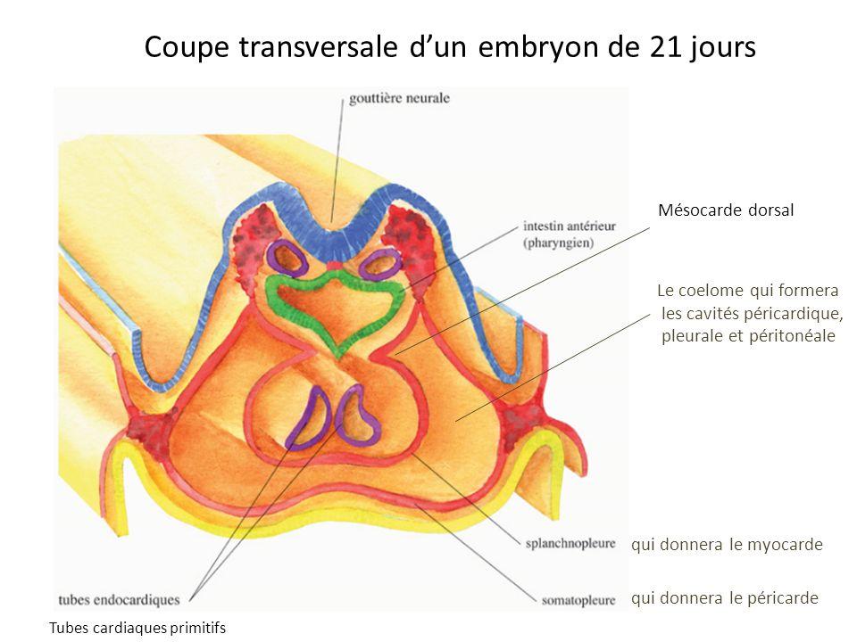 Coupe transversale dun embryon de 21 jours qui donnera le myocarde qui donnera le péricarde Le coelome qui formera les cavités péricardique, pleurale et péritonéale Tubes cardiaques primitifs Mésocarde dorsal