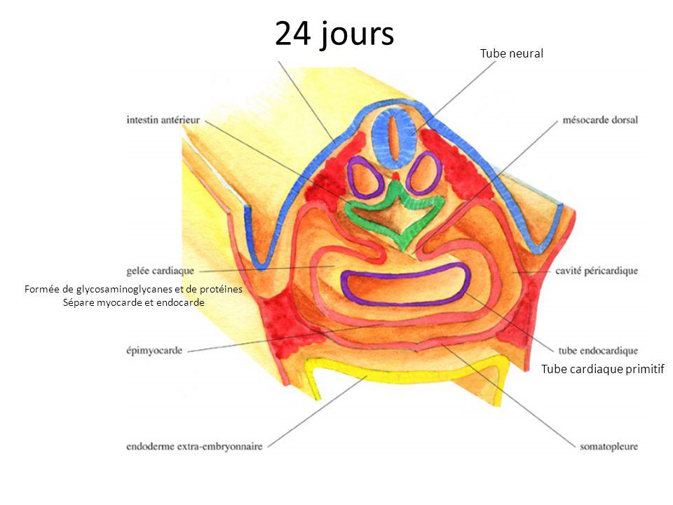 24 jours Tube cardiaque primitif Tube neural Formée de glycosaminoglycanes et de protéines Sépare myocarde et endocarde