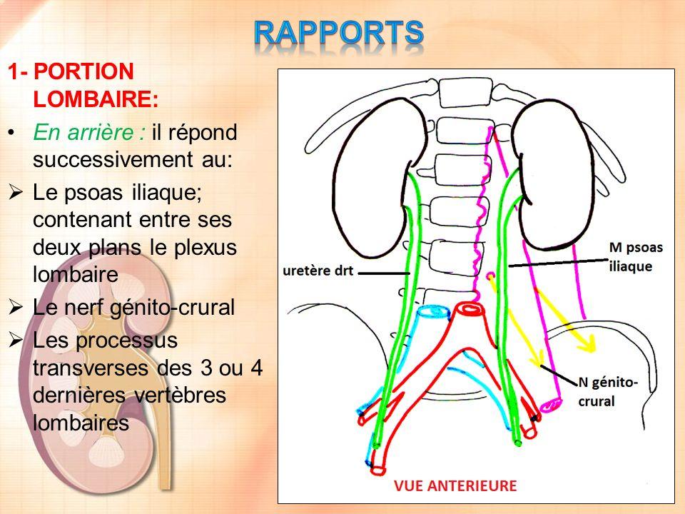 1- PORTION LOMBAIRE: En arrière : il répond successivement au: Le psoas iliaque; contenant entre ses deux plans le plexus lombaire Le nerf génito-crur