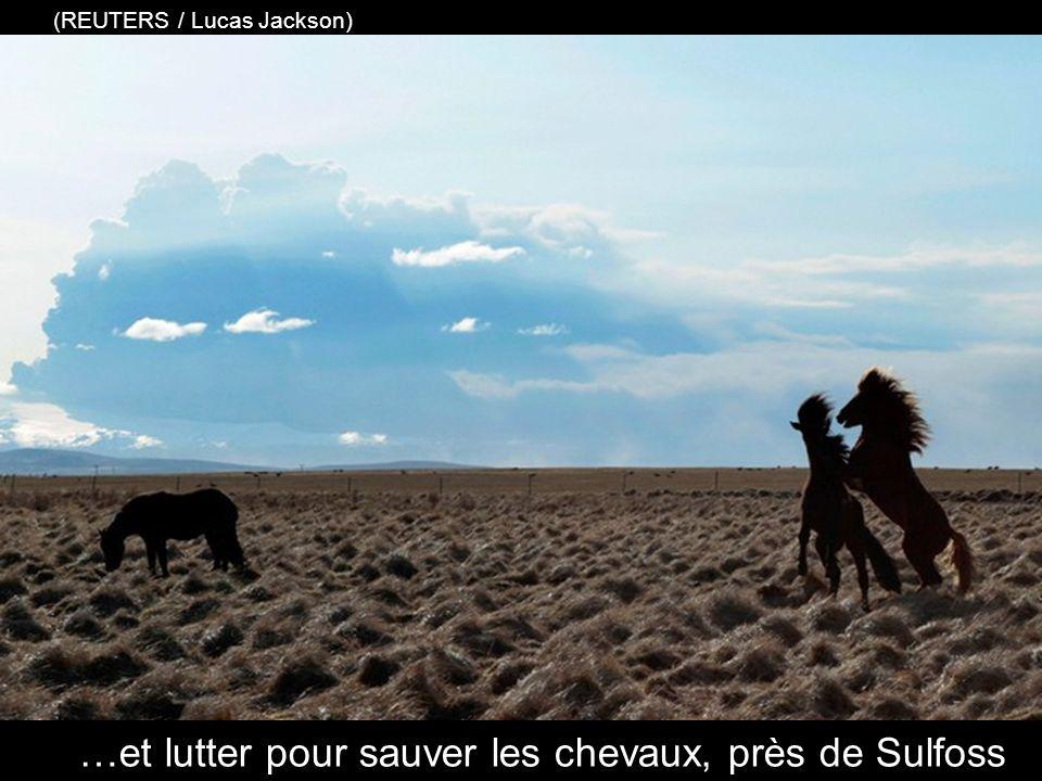 les agriculteurs forment équipes pour sauver leur bétail de l'exposition aux cendres volcaniques toxiques (Photo AP / Gauti Brynjar)
