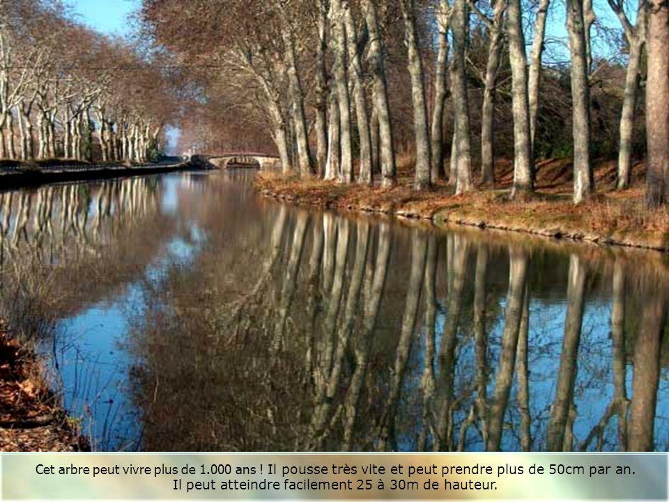 Les majestueux platanes du Canal du Midi ! Les bergesdu canal sont actuellement plantés denviron 60.000 arbres