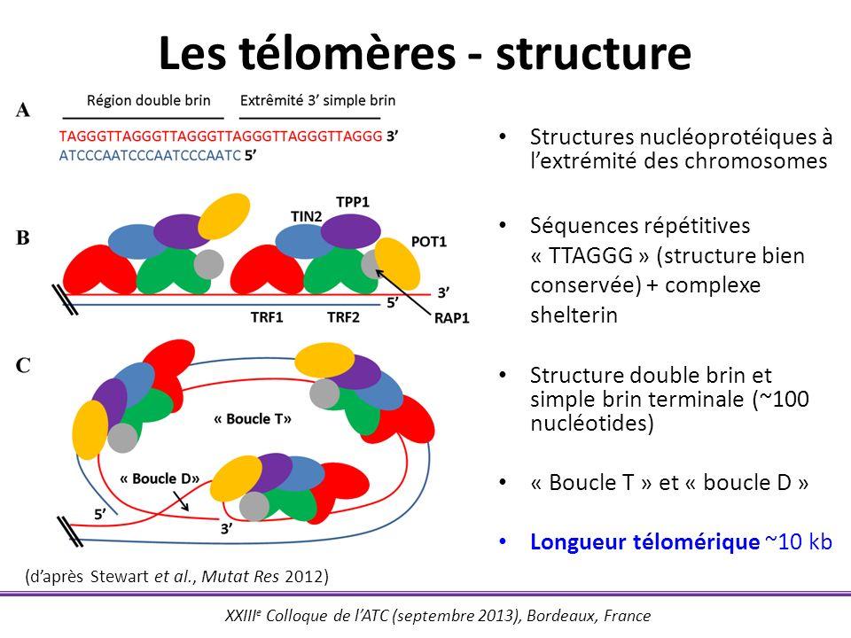 XXIII e Colloque de lATC (septembre 2013), Bordeaux, France Longueur télomérique et contraintes réplicatives 3 3 5 5 5 Brin précoce Brin retardé Hélicase ARN amorce Direction de la fourche de réplication Topoisomérase ADN polymérase Perte longueur télomérique à chaque division Témoin du vieillissement cellulaire Extrémité télomérique
