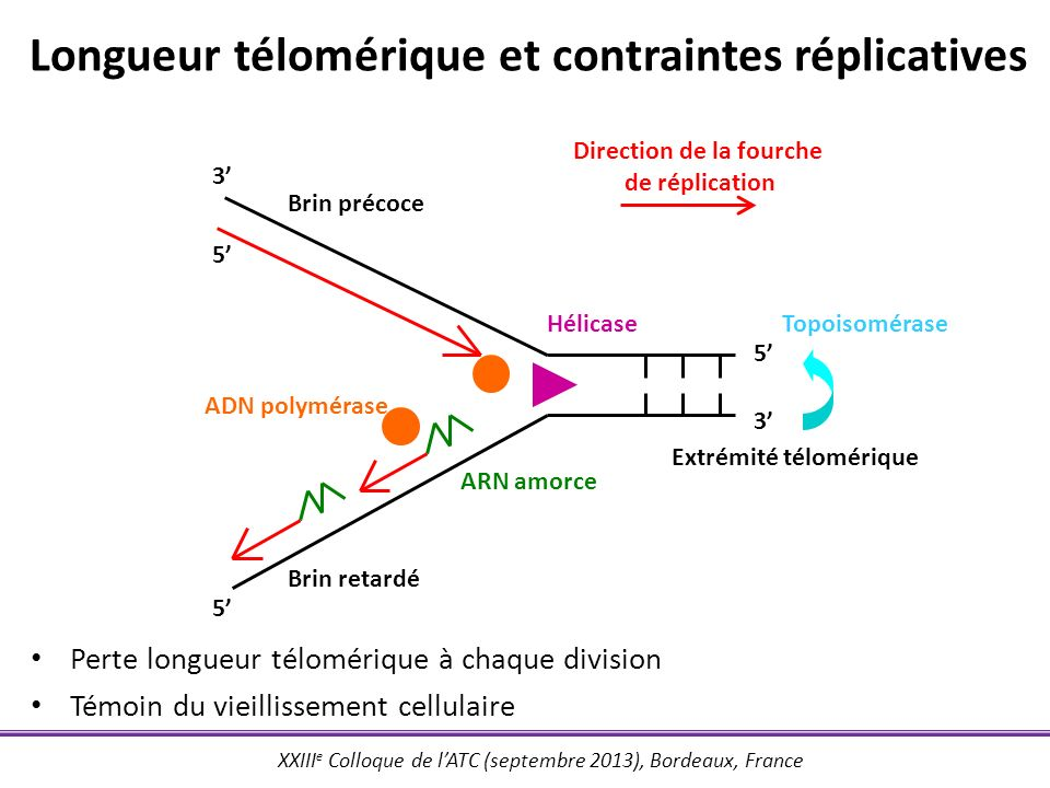 XXIII e Colloque de lATC (septembre 2013), Bordeaux, France Longueur télomérique et contraintes réplicatives 3 3 5 5 5 Brin précoce Brin retardé Hélic