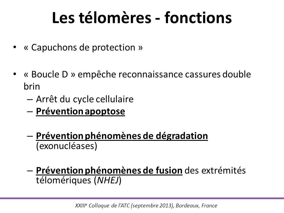 XXIII e Colloque de lATC (septembre 2013), Bordeaux, France Les télomères - fonctions « Capuchons de protection » « Boucle D » empêche reconnaissance