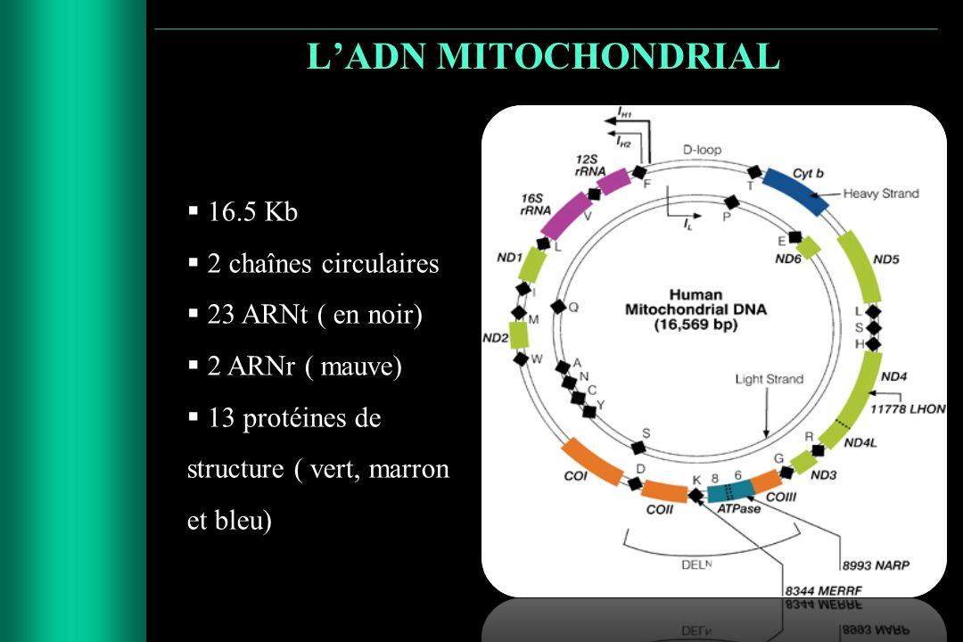 LADN MITOCHONDRIAL 16.5 Kb 2 chaînes circulaires 23 ARNt ( en noir) 2 ARNr ( mauve) 13 protéines de structure ( vert, marron et bleu)