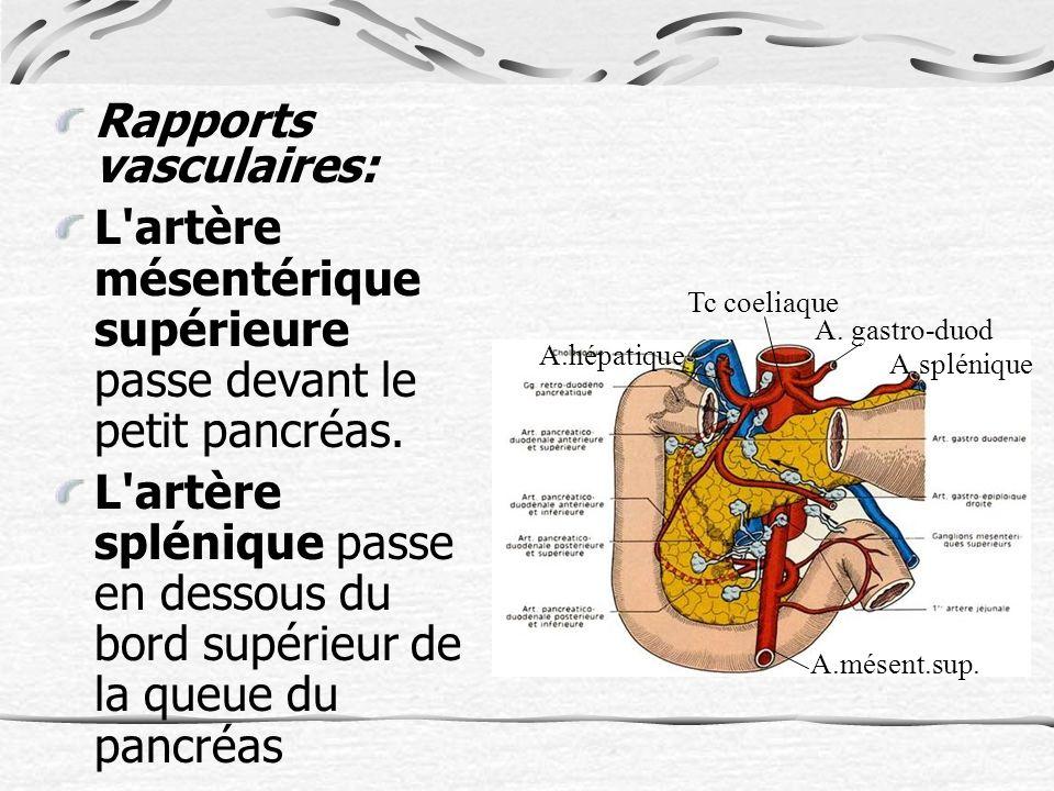 Rapports vasculaires: L artère mésentérique supérieure passe devant le petit pancréas.