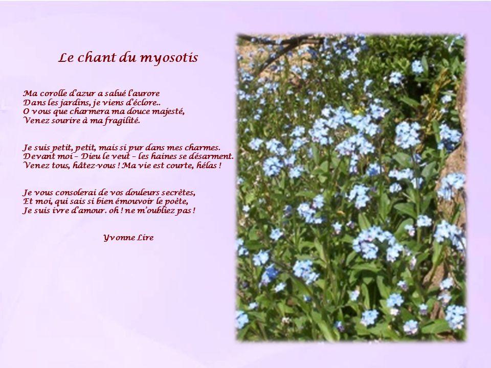 Le chant du myosotis Ma corolle dazur a salué laurore Dans les jardins, je viens déclore.. O vous que charmera ma douce majesté, Venez sourire à ma fr