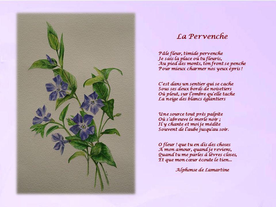 La Pervenche Pâle fleur, timide pervenche Je sais la place où tu fleuris, Au pied des monts, ton front se penche Pour mieux charmer nos yeux épris ! C