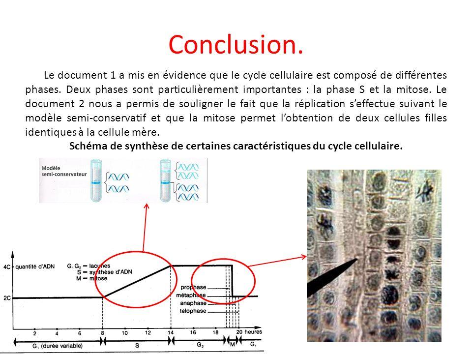 Conclusion. Le document 1 a mis en évidence que le cycle cellulaire est composé de différentes phases. Deux phases sont particulièrement importantes :