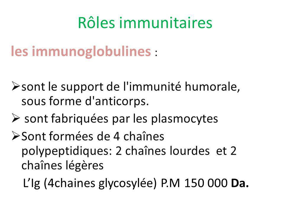 Rôles immunitaires les immunoglobulines : sont le support de l'immunité humorale, sous forme d'anticorps. sont fabriquées par les plasmocytes Sont for