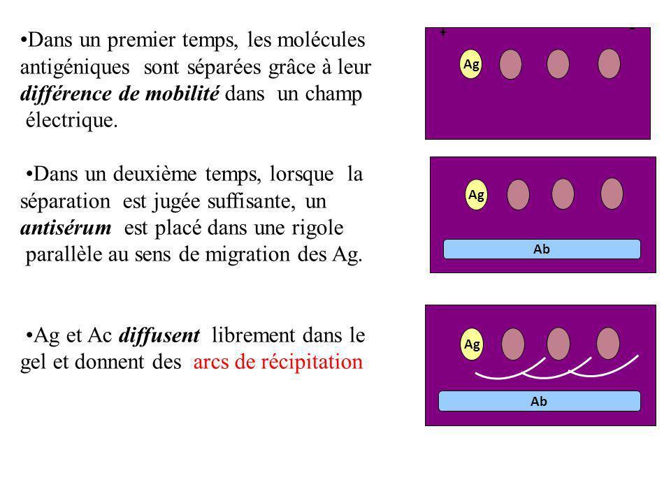 Dans un premier temps, les molécules antigéniques sont séparées grâce à leur différence de mobilité dans un champ électrique. Dans un deuxième temps,