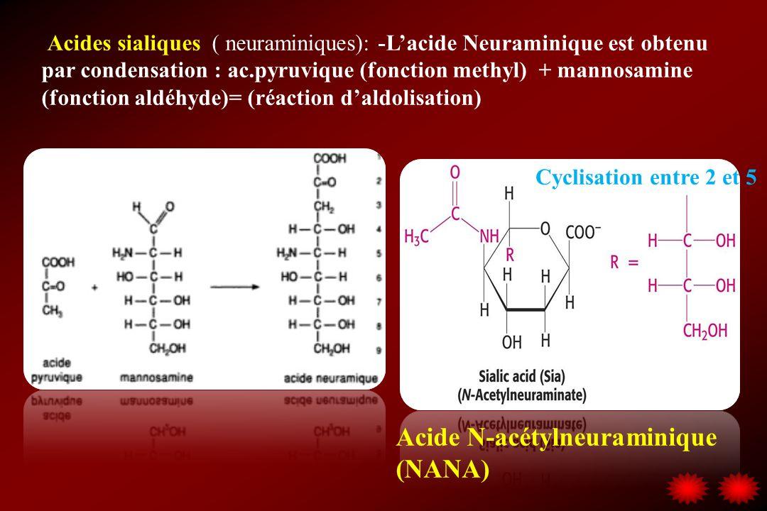 Acides sialiques ( neuraminiques): -Lacide Neuraminique est obtenu par condensation : ac.pyruvique (fonction methyl) + mannosamine (fonction aldéhyde)