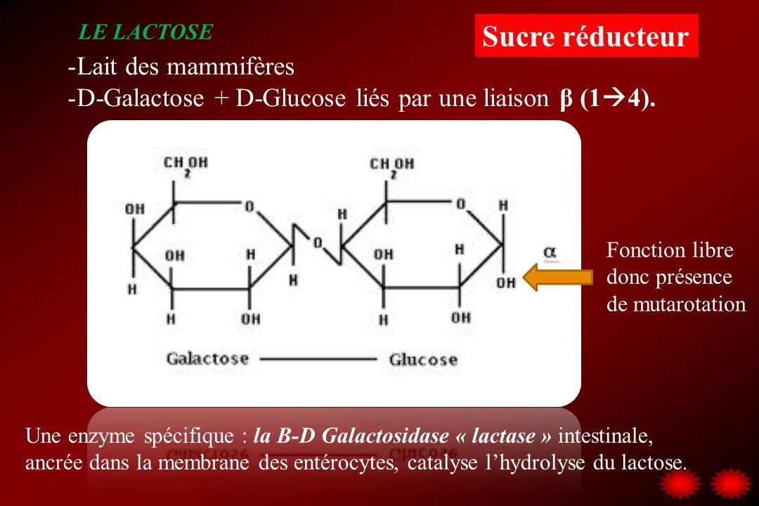 LE LACTOSE -Lait des mammifères -D-Galactose + D-Glucose liés par une liaison β (1 4). Fonction libre donc présence de mutarotation Une enzyme spécifi