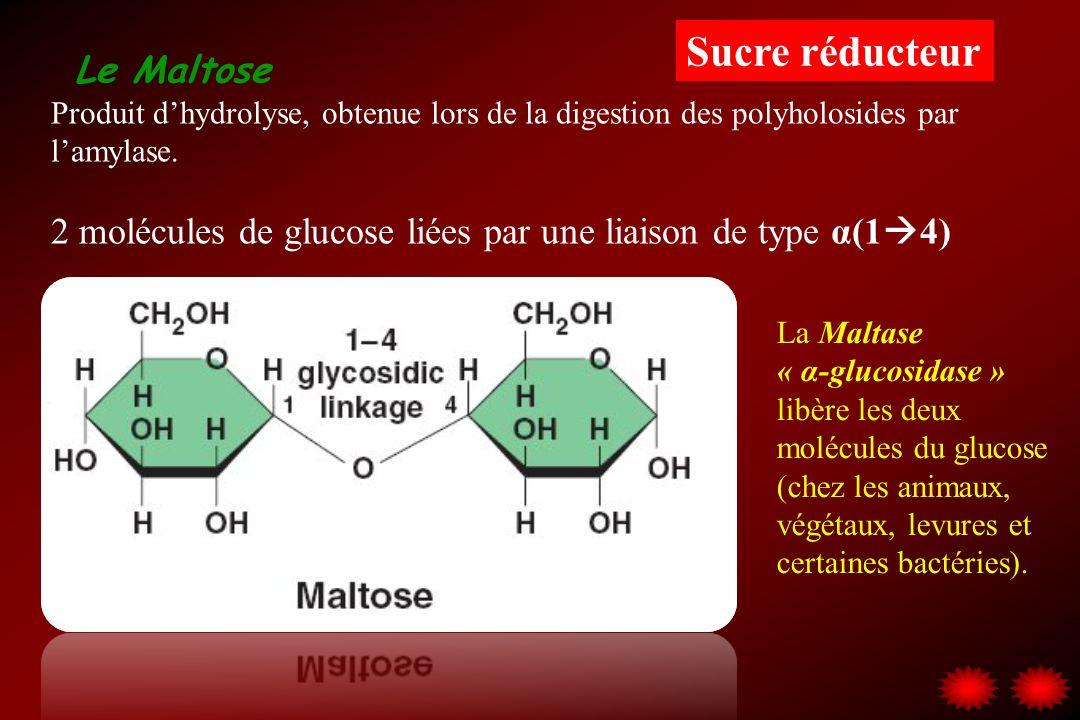 Le Maltose Produit dhydrolyse, obtenue lors de la digestion des polyholosides par lamylase. 2 molécules de glucose liées par une liaison de type α(1 4