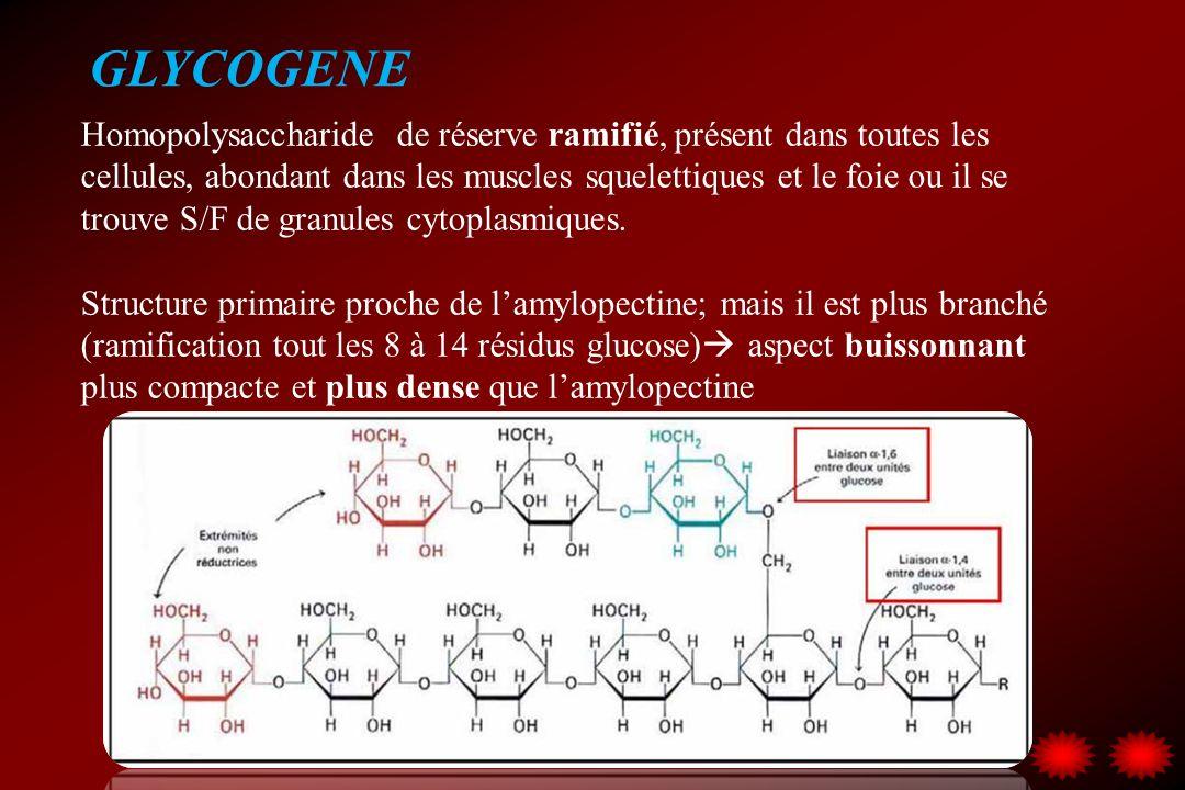 GLYCOGENE Homopolysaccharide de réserve ramifié, présent dans toutes les cellules, abondant dans les muscles squelettiques et le foie ou il se trouve