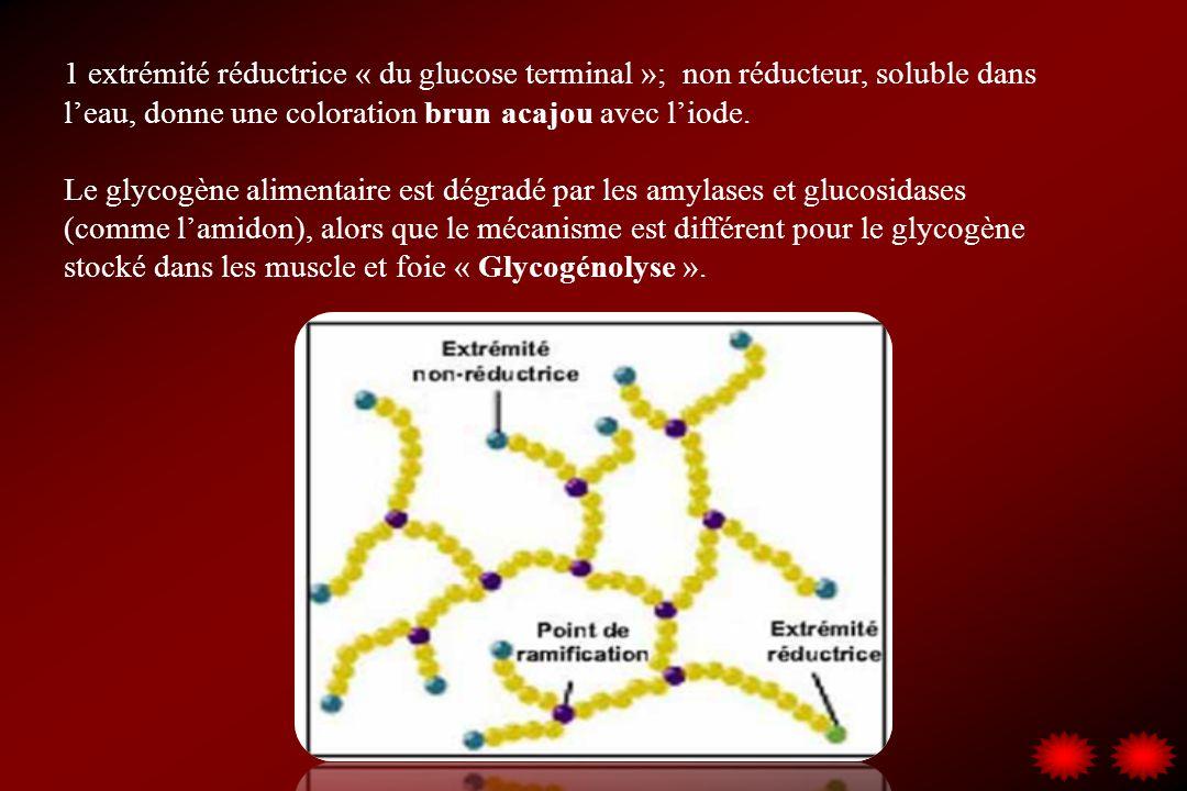 1 extrémité réductrice « du glucose terminal »; non réducteur, soluble dans leau, donne une coloration brun acajou avec liode. Le glycogène alimentair