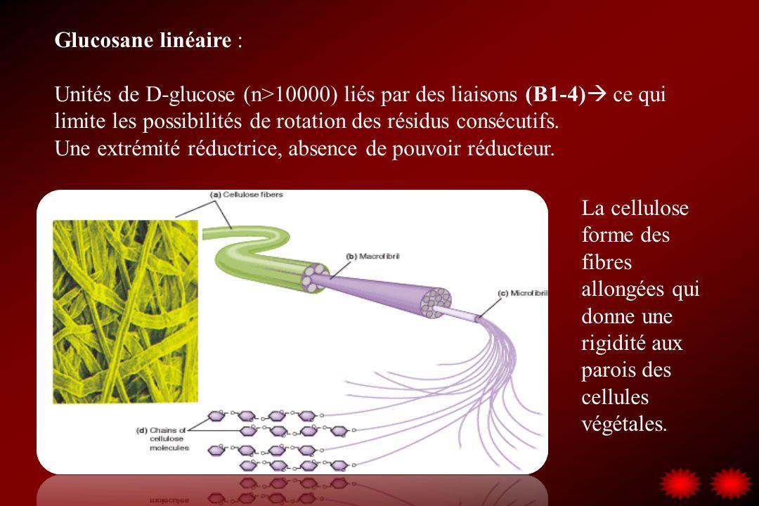 Glucosane linéaire : Unités de D-glucose (n>10000) liés par des liaisons (B1-4) ce qui limite les possibilités de rotation des résidus consécutifs. Un