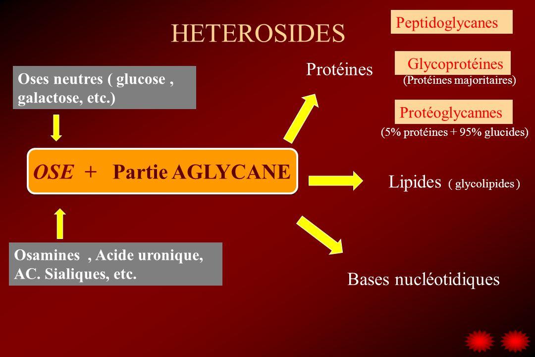 HETEROSIDES OSE + Partie AGLYCANE Protéines Lipides ( glycolipides ) Bases nucléotidiques Oses neutres ( glucose, galactose, etc.) Osamines, Acide uro