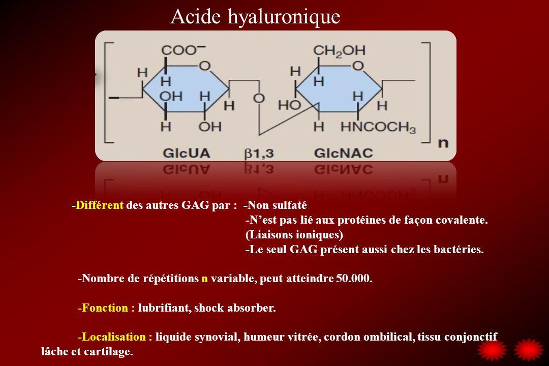 Acide hyaluronique -Différent des autres GAG par : -Non sulfaté -Nest pas lié aux protéines de façon covalente. (Liaisons ioniques) -Le seul GAG prése
