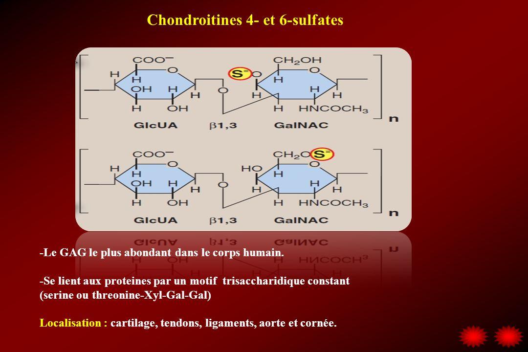 Chondroitines 4- et 6-sulfates -Le GAG le plus abondant dans le corps humain. -Se lient aux proteines par un motif trisaccharidique constant (serine o