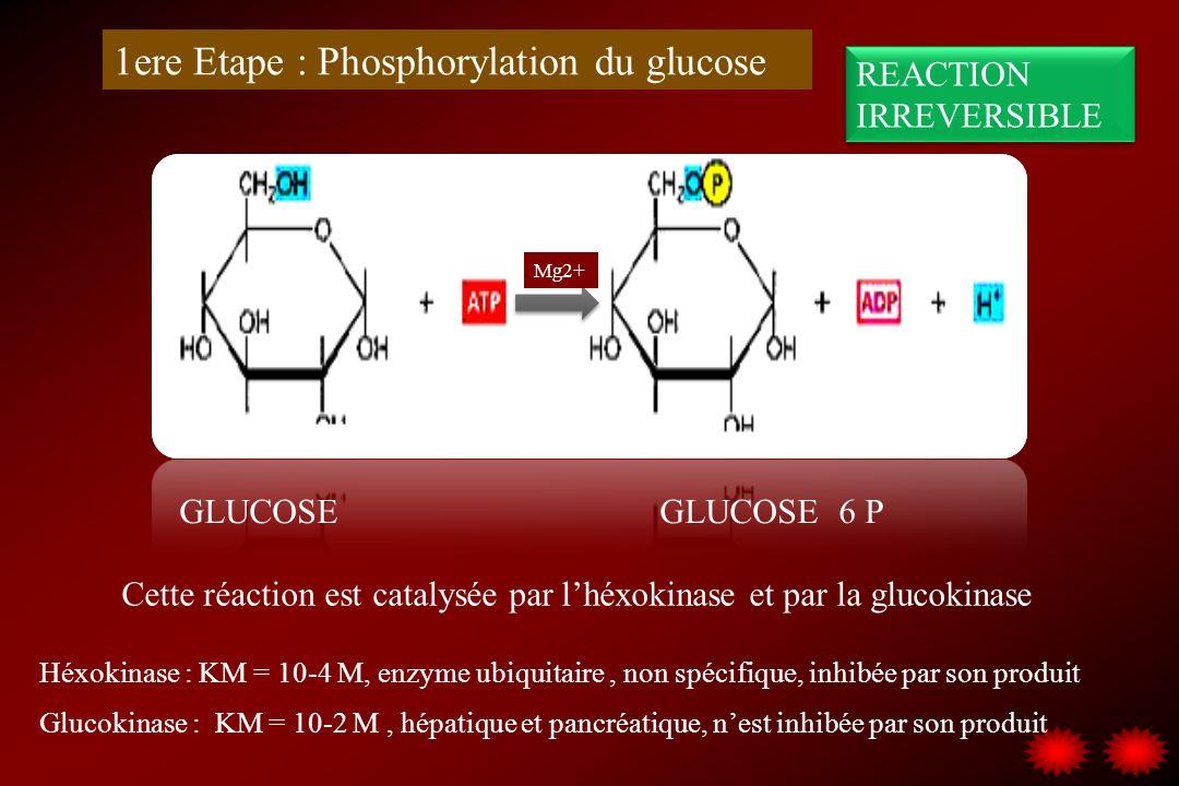 1ere Etape : Phosphorylation du glucose GLUCOSE GLUCOSE 6 P Cette réaction est catalysée par lhéxokinase et par la glucokinase Mg2+ Héxokinase : KM =