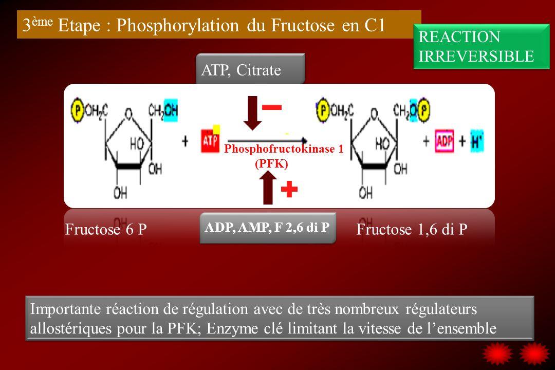 Fructose 6 P Fructose 1,6 di P 3 ème Etape : Phosphorylation du Fructose en C1 Phosphofructokinase 1 (PFK) Importante réaction de régulation avec de t
