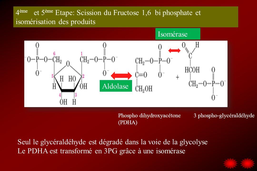 4 ème et 5 ème Etape: Scission du Fructose 1,6 bi phosphate et isomérisation des produits Phospho dihydroxyacétone (PDHA) 3 phospho-glycéraldéhyde Ald