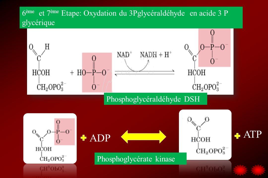 6 ème et 7 ème Etape: Oxydation du 3Pglycéraldéhyde en acide 3 P glycérique ADP ATP Phosphoglycéraldéhyde DSH Phosphoglycérate kinase