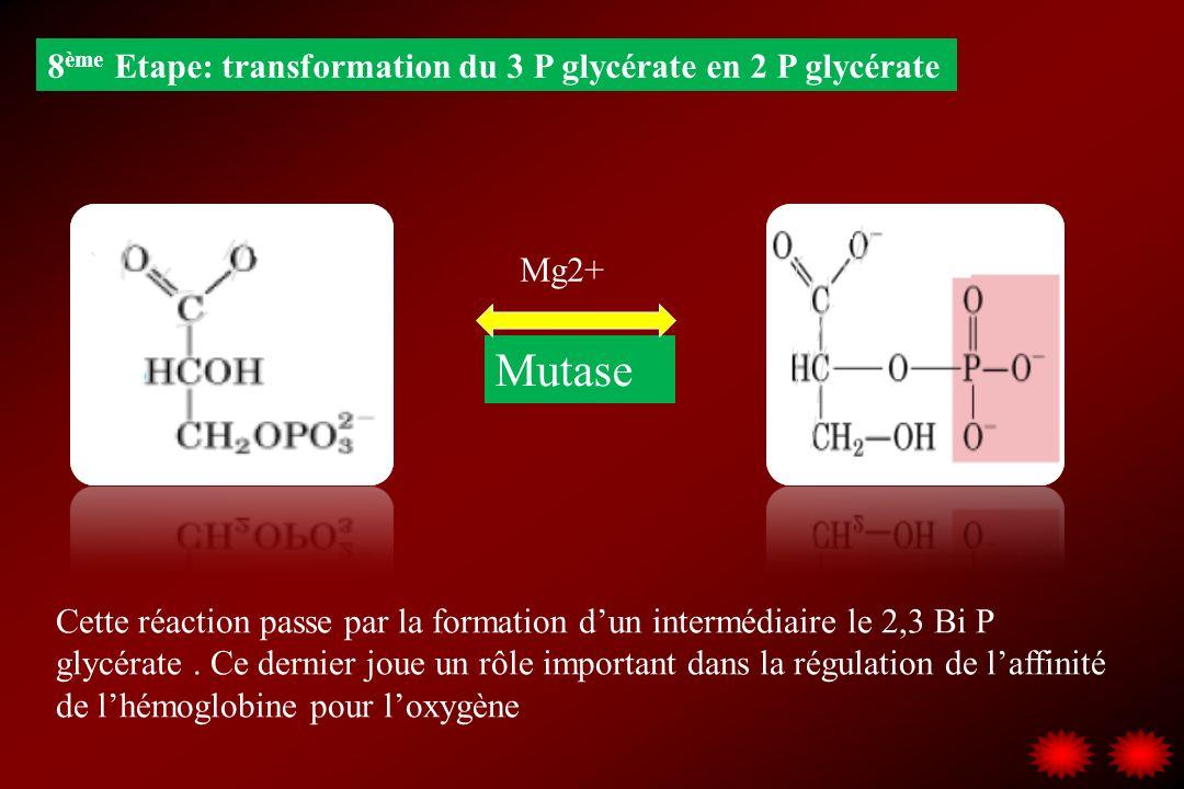 8 ème Etape: transformation du 3 P glycérate en 2 P glycérate Mutase Mg2+ Cette réaction passe par la formation dun intermédiaire le 2,3 Bi P glycérat