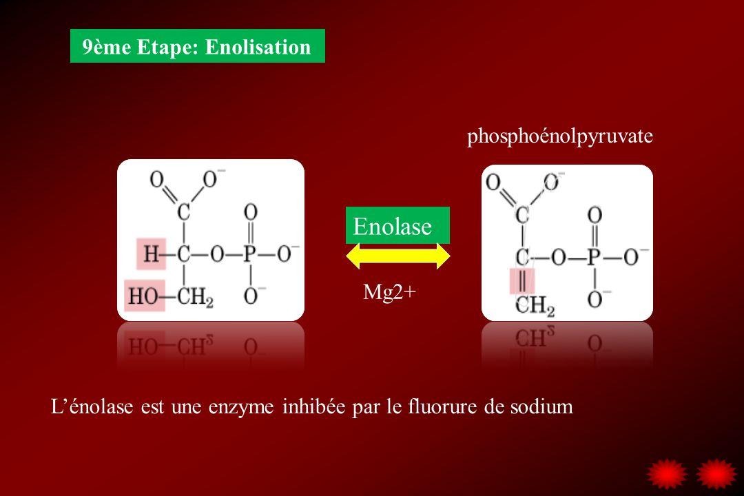 9ème Etape: Enolisation Enolase Mg2+ Lénolase est une enzyme inhibée par le fluorure de sodium phosphoénolpyruvate
