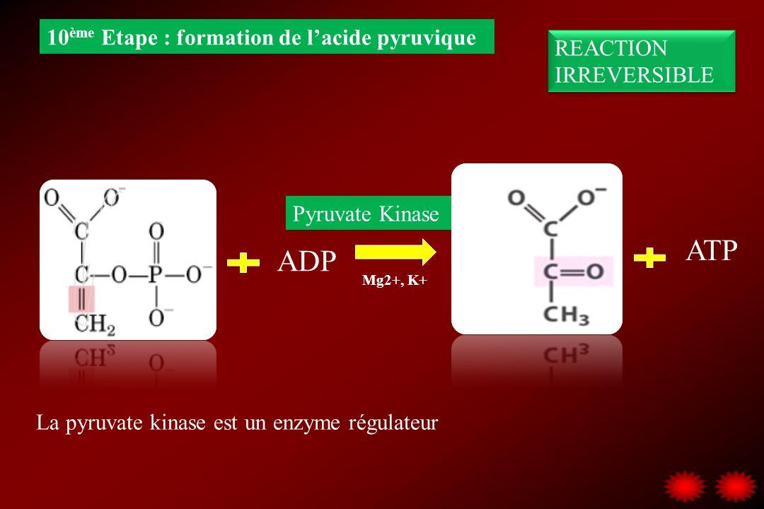 ADP ATP Pyruvate Kinase 10 ème Etape : formation de lacide pyruvique REACTION IRREVERSIBLE Mg2+, K+ La pyruvate kinase est un enzyme régulateur