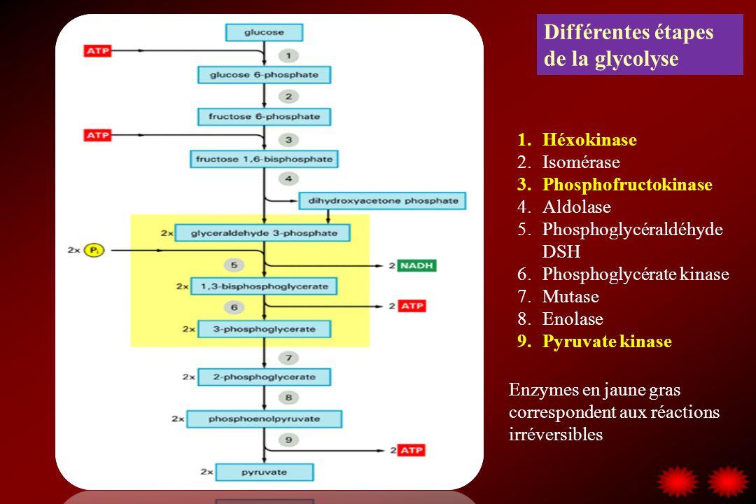 Différentes étapes de la glycolyse 1.Héxokinase 2.Isomérase 3.Phosphofructokinase 4.Aldolase 5.Phosphoglycéraldéhyde DSH 6.Phosphoglycérate kinase 7.Mutase 8.Enolase 9.Pyruvate kinase Enzymes en jaune gras correspondent aux réactions irréversibles