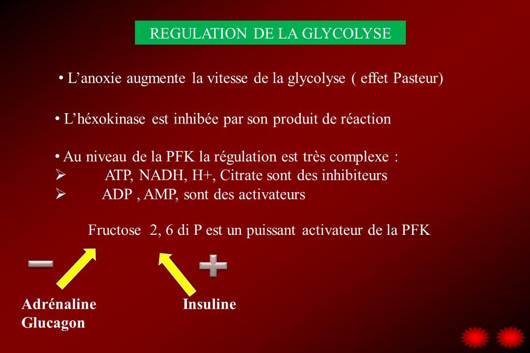 REGULATION DE LA GLYCOLYSE Lanoxie augmente la vitesse de la glycolyse ( effet Pasteur) Lhéxokinase est inhibée par son produit de réaction Au niveau