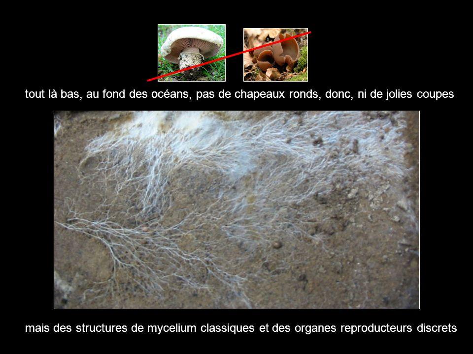 tout là bas, au fond des océans, pas de chapeaux ronds, donc, ni de jolies coupes mais des structures de mycelium classiques et des organes reproducte