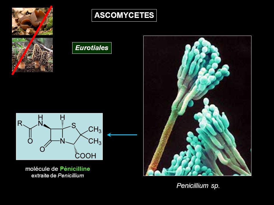ASCOMYCETES molécule de Pénicilline extraite de Penicillium Penicillium sp. Eurotiales
