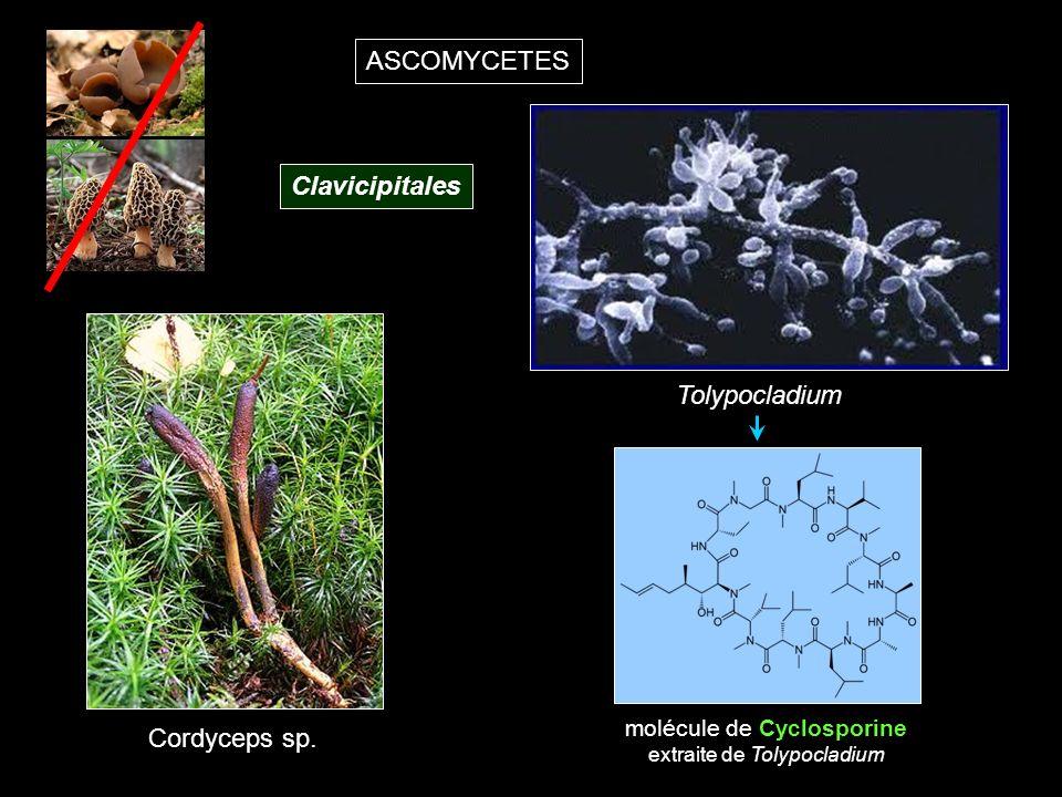 ASCOMYCETES Clavicipitales Cordyceps sp.