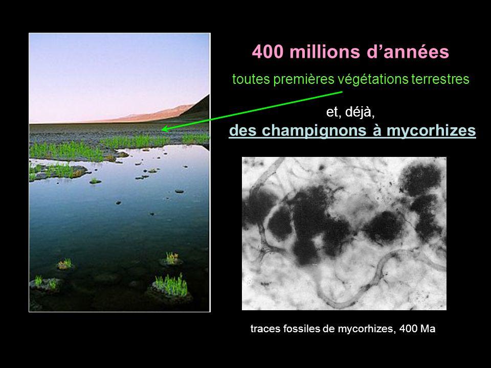 400 millions dannées toutes premières végétations terrestres et, déjà, des champignons à mycorhizes traces fossiles de mycorhizes, 400 Ma