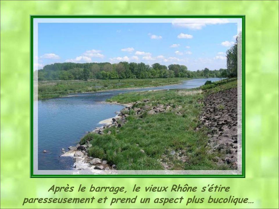Après le barrage, le vieux Rhône sétire paresseusement et prend un aspect plus bucolique…