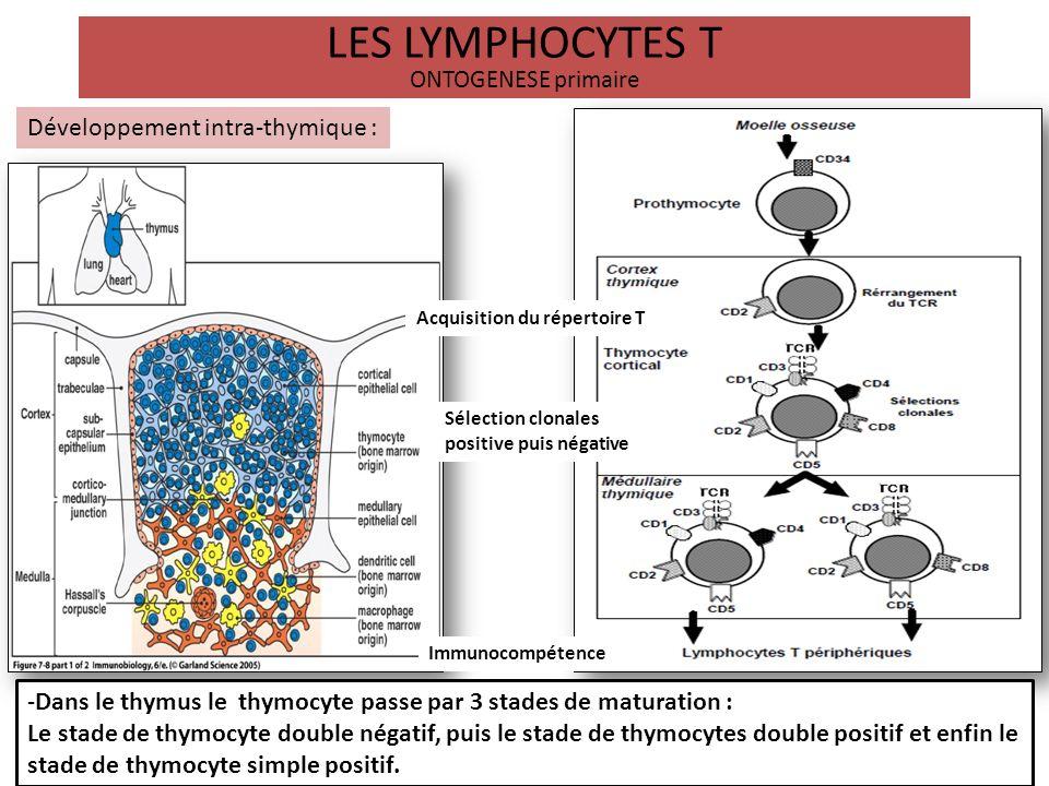 LES LYMPHOCYTES T ONTOGENESE primaire Développement intra-thymique : Acquisition du répertoire T Sélection clonales positive puis négative Immunocompé