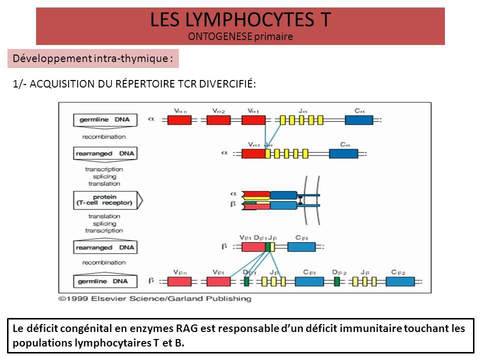 LES LYMPHOCYTES T ONTOGENESE primaire Développement intra-thymique : 2/- EDUCATION DE LA TOLERENCE AU SOI: Les réarrangements des chaînes du TCR conduisent à lexpression de TCR plus ou moins complets à la surface des thymocytes doubles positifs qui vont passés 2 sélections: LA SÉLECTION POSITIVE : a lieu au stade DP lorsque les thymocytes expriment un TCR fonctionnel.